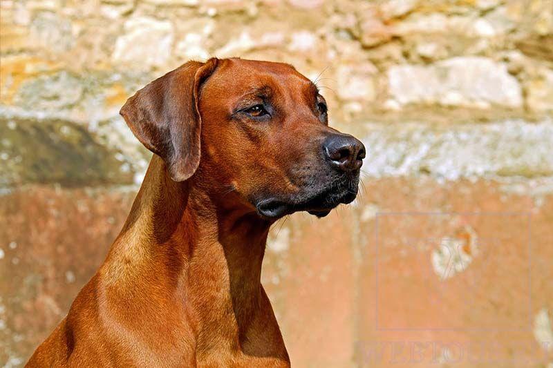 пример фото: собака на фоне стены